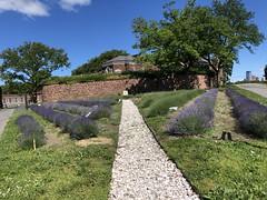 Lavender is field blooming!