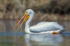 American white Pelican (Peter Stahl Photography) Tags: lakeisle alberta canada ca americanwhitepelican