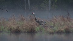 Sandhill cranes with their baby ( colt ) Watch the video as the young colt appears. (Mel Diotte) Tags: video sandhill crane wild nature birds water babies baby mel diotte nikon explore share wildlife natural fog unexpected winged feathers colt photography cool 200500mm d500 zoom mist parents