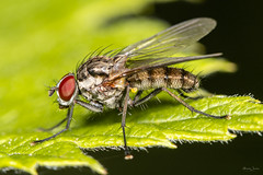 Fly (Shane Jones) Tags: fly diptera insect nature wildlife nikon d7200 tamron180mmmacro pk3extensiontube macro macrolife macrophotosnolimits macrolicious