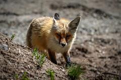 Red Fox (Bernie Duhamel) Tags: redfox fox colorado coloradowildlife wildlife sonya9 sonyfe100400mm greatphotographers teamsony rockymountains bernie duhamel breckenridge