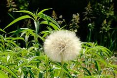 Huge Dandelion (Gene Ellison) Tags: plant wodlflower dandelion seed pod field