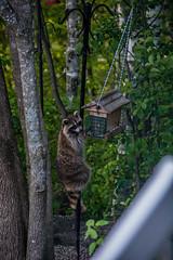 2018 - photo 147 of 365 - why I can't keep bird-feeders (old_hippy1948) Tags: raccoon birdfeeder nuisance