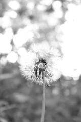 Dandelion (Still in the Sea) Tags: dandelion light nature monochrome