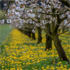 cherry blossom (:: Blende 22 ::) Tags: cherry blossom trees deutschland germany hessen spring springtime blumen gras wiese grün weis blüten canoneos5dmarkiv frühling hessian meadow white green dandelion ef2470mmf28liiusm