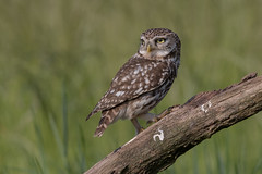R18_2551 (ronald groenendijk) Tags: cronaldgroenendijk 2018 athenenoctua littleowl rgflickrrg animal bird birds copyrightronaldgroenendijk europe groenendijk holland nature natuur natuurfotografie netherlands outdoor owl ronaldgroenendijk steenuil uil vogel vogels wildlife