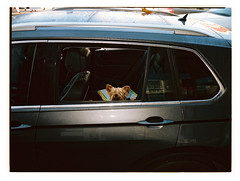 Vicious Guard Dog (@fotodudenz) Tags: dog film camera fuji fujifilm ga645w ga645wi medium format wide angle 645 6x45 kodak portra 160 kew melbourne victoria australia 2018 car parked guard vicious 28mm 45mm point shoot