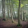 Royston woods (steve-jack) Tags: hasselblad 501cm 80mm cb fuji reala 100 film 120 6x6 woods trees forest hertfordshire herts mist fog morning beech tetenal c41 kit epson v500
