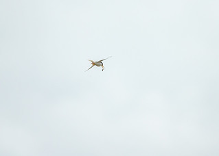 Little Tern with flying fish :-) 1DX28950.jpg