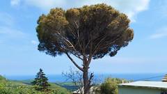 301 - Cap Corse, Rogliano, un pin (paspog) Tags: rogliano corse capcorse france mai may 2018 pin pinparasol