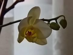 blooming orchid (panoskaralis) Tags: orchid flower macro indoor plant bloom blooming nikon nikoncoolpixb700