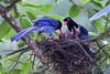 台灣藍鵲~育雛~ Urocissa caerulea brooding (Shang-fu Dai) Tags: 台灣 taiwan nikon d500 formosa 藍鵲 台灣藍鵲 urocissacaerulea 飛羽 鳥