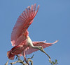 almost down (Dianne M.) Tags: roseatesspoonbill nature flight outside rookery pink landing florida ngc