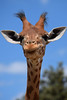 Giraffe @ Zoo de la Barben 29-06-2017 (Maxime de Boer) Tags: giraffe giraf zoo de la barben animals dieren dierentuin gods creation schepping creator schepper genesis