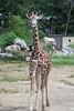 longneck (BarryFackler) Tags: henrydoorlyzooandaquarium henrydoorlyzoo omahazoo omahanebraska zoo omaha omahane vertebrate animal creature life organism fauna being ecology zoology 2018 africa mammal giraffacamelopardalisreticulata gcreticulata reticulatedgiraffe giraffidae outdoor barryfackler barronfackler midwest giraffe