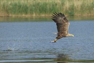 White-tailed Eagle with a fish