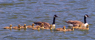 The Canada Goose family outing.