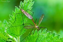 Tipule ou Cousin  Nephrotoma  flavipalpis    (3) (Ezzo33) Tags: tipule ou cousin nephrotoma flavipalpis france gironde nouvelleaquitaine bordeaux ezzo33 nammour ezzat sony rx10m3 parc jardin insecte insectes specanimal