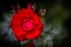 Red, red rose! (judy dean) Tags: judydean 2018 rose red lensbaby velvet56