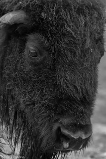 American Bison portrait.