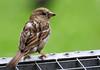 P1610136- junger Haussperling (Bine&Minka2007) Tags: singvögel sperlingsvögel birds bird bokeh vögel vogel vogelfotos vario100400 vogelbilder wildvögel wildlife wildtiere sperling sparrow