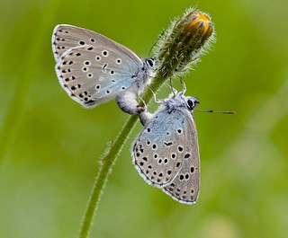 Large Blue UK