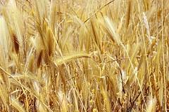 Gold .. (Julie Greg) Tags: colours corn nature fujifilmxt20 details field