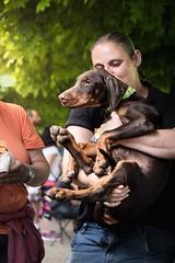 Lap pup (zola.kovacsh) Tags: outdoor animal pet dog club show dobermann doberman pinscher pup puppy