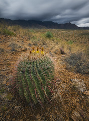 Barrel Cactus (Davor Desancic) Tags: franklinmountains statepark texas desert elpaso cactus barrelcactus