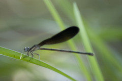 Variable Dancer (ninjabirder) Tags: june2012 variabledancer odes damselflies