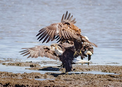 Eagle Rumble. (tresed47) Tags: 2016 201605may 20180524bombayhookbirds birds bombayhook canon7d content delaware eagle folder may peterscamera petersphotos places season spring takenby us ngc