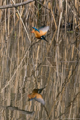 MP (10 sur 19) (loomistudio) Tags: martinpêcheur loomistudio étang oiseaux couleurs bleu