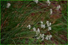 Nel bosco in primavera (2) (frank28883) Tags: bokeh closeup primavera fiori erba spring fiorellini