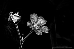 Geranium Sanguineum (...She) Tags: geraniumsanguineum plants flower wildflower nature blackandwhite monochrome mood moody flora flowers