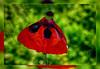 Poppy Ballerina ;o)) (scorpion (13)) Tags: poppy flower plant garden nature color creative photoart frame ballerina bokeh