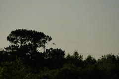 DSC00588.jpg (joe.spandrusyszyn) Tags: unitedstatesofamerica paynespraire vertebrate nature byjoespandrusyszyn gainesville bird florida animal