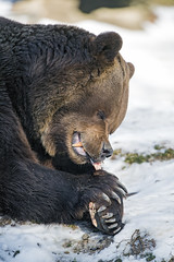 Bear and bone II (Tambako the Jaguar) Tags: brown bear male portrait face close profile lying eating bone meat food gnawing chewing winter snow cold tierparklangenberg wildpark zürich switzerland nikon d5