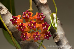 IMG_3995-0(W) Hoya benguetensis, background against the wall (Vince_Adam Photography) Tags: hoyabenguetensis malaysia smellgood fragrance