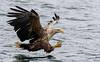 White Tailed Sea Eagle, Mull (irelaia) Tags: mull charters white tailed sea eagle wild bird fish