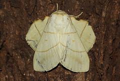 Trichopisthia monteiroi (zimbart) Tags: africa mozambique gorongosanationalpark fauna arthropoda insects specinsect lepidoptera moths heterocera lasiocampidae bungacamp trichopisthia trichopisthiamonteiroi