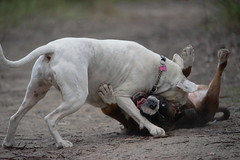Ahhh; that's my funny bone! (Bl.Mtns.Grandma) Tags: boxer dog play