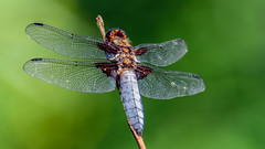 Orthétrum réticulé (Alexandre LAVIGNE) Tags: hdpentaxdfa150450mm hdpentaxdaaf14xaw louisengival pentaxk3 945mm libellule ambiance firefly insecte nature proxy saintquentin picardiehautsdefrance