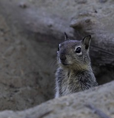 Ground squirrel checking for danger (shottwokill) Tags: park morning lake nature wildlife animals squirrel groundsquirrel nikon 200500 d5