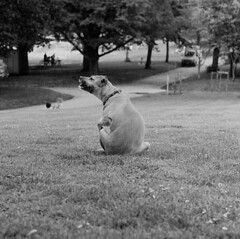 P63-2018-026 (lianefinch) Tags: argentique argentic analogique analog monochrome blackandwhite blackwhite bw noirblanc noiretblanc nb chien dog dogs chiens griffon animal nature parc