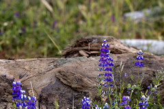 Wild Lupine And Driftwood 3145 (casch52) Tags: lupine flower purple outdoors nature green spring color blue field silver plant season floral landscape wild albifrons grass lupinus flora wildflower background meadow blossom summer bloom fragrant california colorful lupinusalbifrons environment park botany national wilderness scenic beauty lupin wyoming bright sky violet valley natural closeup driftwood stream blurred day