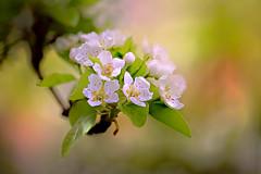 Pear Blossoms (lfeng1014) Tags: 梨花 pearblossoms spring flower macro macrophotography flowermacro closeup bokeh dof depthoffield canon5dmarkiii ef100mmf28lmacroisusm light lifeng