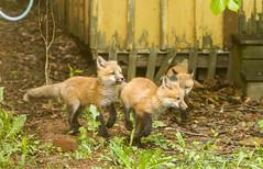 IMGL1495 Pugwash Red Fox Kit(s) (Wallace River) Tags: foxes novascotia pugwashfoxes redfoxes