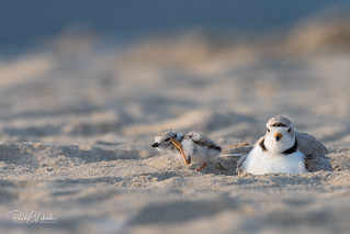 Piping Plover | 2018 - 26
