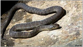Northern Water Snake DSC_0359