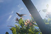 Denver Botanic Gardens 5-29-18 41 (flowercat) Tags: denverbotanicgardens denver botanicgarden garden botanicalgarden flowers mayflowers colorado hummingbird